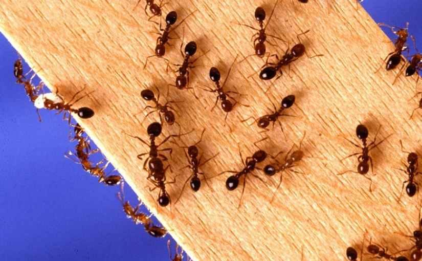 Ants in YourPants